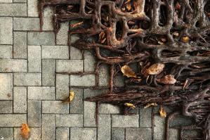 Raíces de árbol - Créditos: Wei-Feng Xue