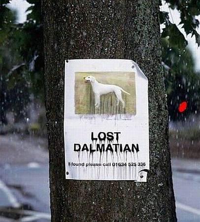 Dálmata perdido / Lost dalmatian