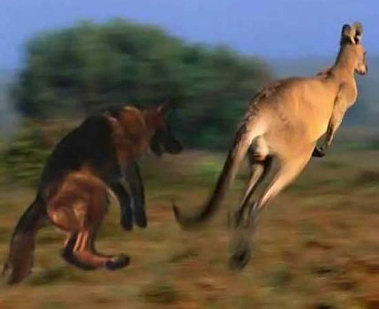 Canguros / Kangaroos
