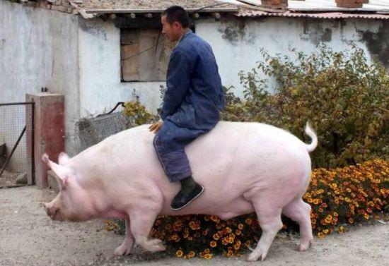 Montando en cerdo / Pig riding