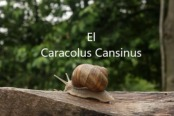 caracolus-cansinus
