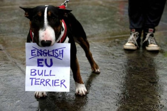 bull-terrier-ingles